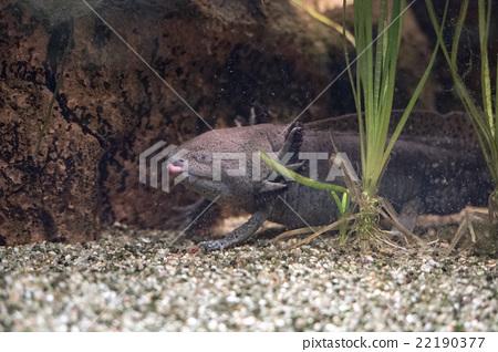 axolotl mexican salamander portrait underwater 22190377