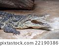 wide open crocodile mouth detail 22190386