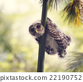 Barred Owlet Perches 22190752