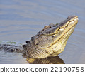 Alligator Growling for a Mate 22190758