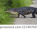 Large Florida Alligator 22190769