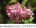 weigela, flowering, caprifoliaceae 22199370