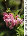 weigela, flowering, caprifoliaceae 22199371
