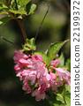 weigela, flowering, caprifoliaceae 22199372