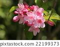 weigela, flowering, caprifoliaceae 22199373