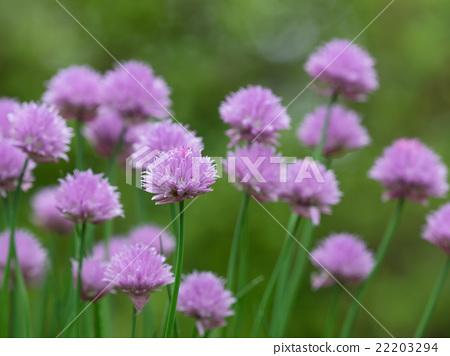 紅紫色韭菜花 22203294
