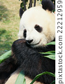 Panda eating bamboo 22212959