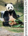 Panda eating bamboo 22212967