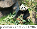 Panda eating bamboo 22212987