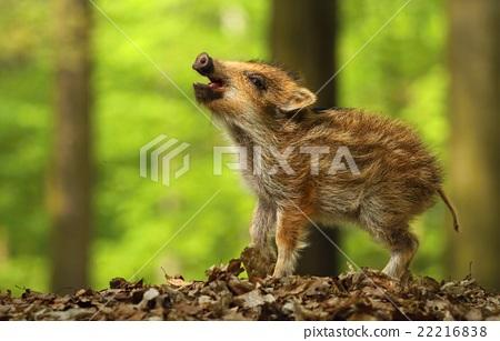 Baby wild boar calling 22216838