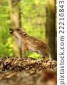 Baby wild boar squealing 22216843