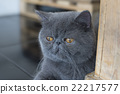 Gray Persian cat 22217577