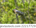 Chaffinch Perched on a Branch 22217729