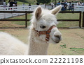 動物 動物園 羊駝 22221198