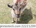 山羊 雪羊 動物 22221200