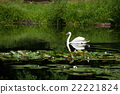 swan sailing on the lake in a forest 22221824