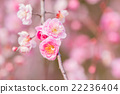 Pink flower ume blossoms. 22236404