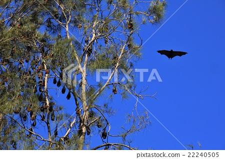 Flying foxes in Australia 22240505