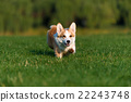 dog Welsh Corgi plays in the Park 22243748
