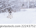 siberian husky dog winter portrait 22243752