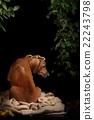 Rhodesian Ridgeback dog resting 22243798