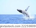 小笠原的駝背鯨 22250609