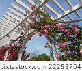 สวน,กุหลาบ,ดอกไม้ 22253764