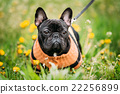 Young Black French Bulldog Dog In Green Grass 22256899