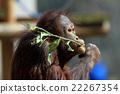 猩猩 猴 猭 22267354