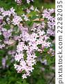weigela hortensis, weigela, deciduous tree 22282035