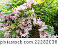 weigela hortensis, weigela, deciduous tree 22282036
