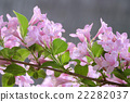 weigela hortensis, weigela, deciduous tree 22282037