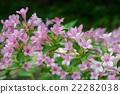 weigela hortensis, weigela, deciduous tree 22282038