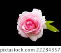 ROSE 22284357