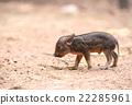 baby wild boar 22285961