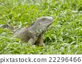 big Iguana 22296466