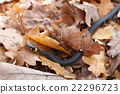 grass snake in the autumn leaves 22296723