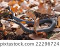 grass snake crawling on a yellow autumn foliage 22296724
