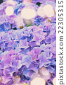 violet and blue   hortensia flowers 22305315