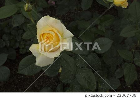 Rose 22307739