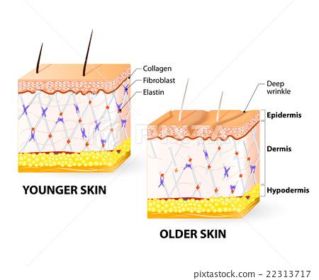 skin aging 22313717