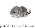 Chinchilla baby isolated over white background 22323547
