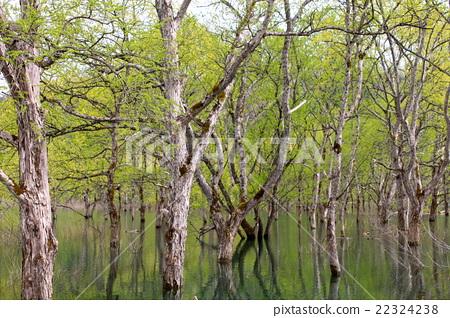 시라카와 댐에 자라는 나무들 22324238