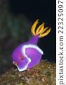 海參 水下照片 海中珍寶魚 22325097