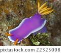 海參 水下照片 海中珍寶魚 22325098