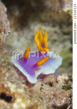 海參 水下照片 海底的 22326124