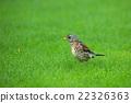 Fieldfare (Turdus pilaris) on the grass 22326363