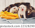 White Newborn kittens in a plaid blanket 22328290