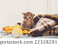 Grey striped newborn kitten in a plaid blanket 22328291