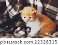 Red orange newborn kitten in a plaid blanket 22328315